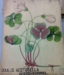 Oxalis acetosella and common name