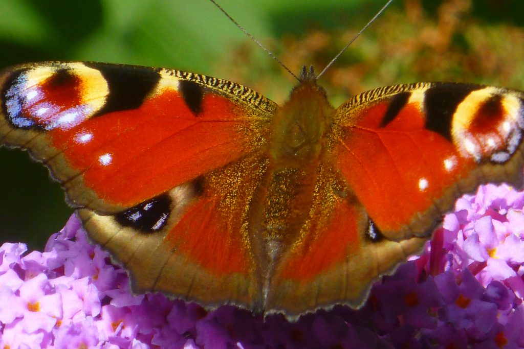 Peacock butterfly (Inachis io), 31 August 2015. Photo Robert Mill.