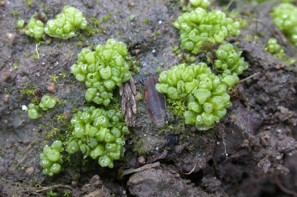 Complex thalloid liverwort Sphaerocarpos texanus in the UK, photographed by Dr David Long