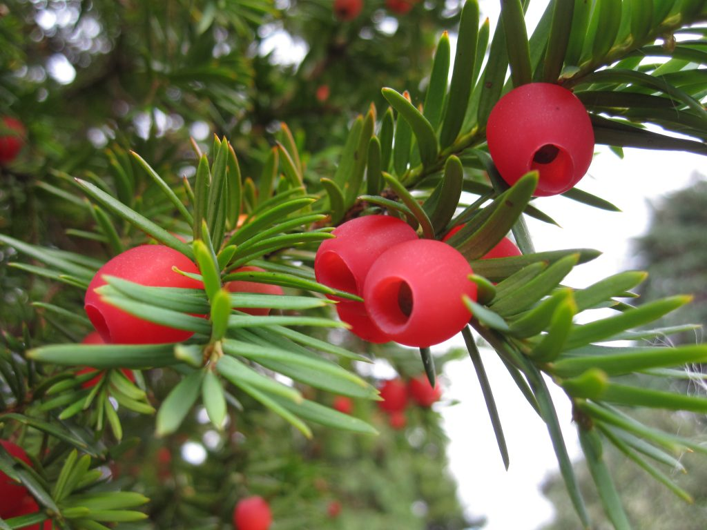 Yew berries showing the distinctive fleshy aril that surrounds a single seed.