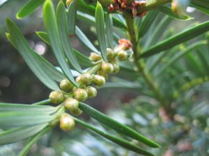 Male cones on the yew are small and spherical and shed copious pollen when they mature.