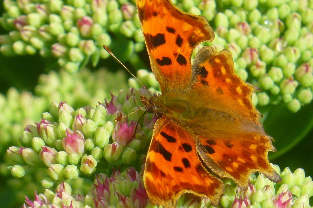Comma butterfly Polygonia c-album, 2 September 2015. Photo Robert Mill