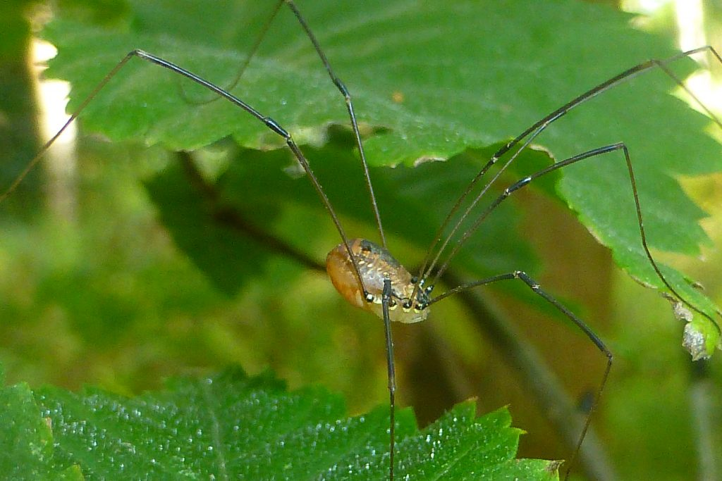 The harvestman Leiobunum rotundum balanced on an elm leaf, 11 September 2015. Photo Robert Mill,