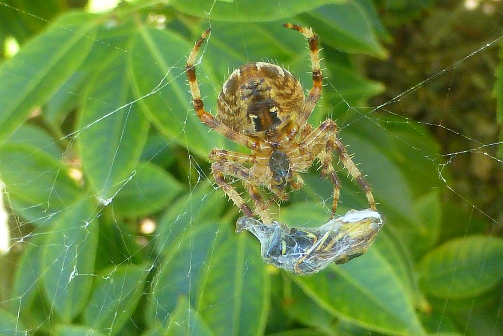Garden Spider Aranea diademata with wasp prey in silken cocoon, 16 September 2015. Photo Robert Mill.