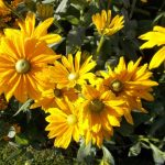 Rudbeckia 'Irish Spring'