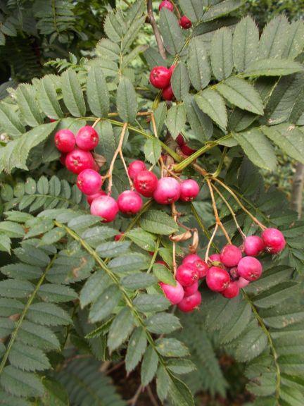 Sorbus microphylla