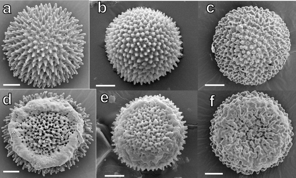 Monocarpus spores: a,d: Victoria, Australia, b,e: Western Australia, c,f: Cape Province, South Africa