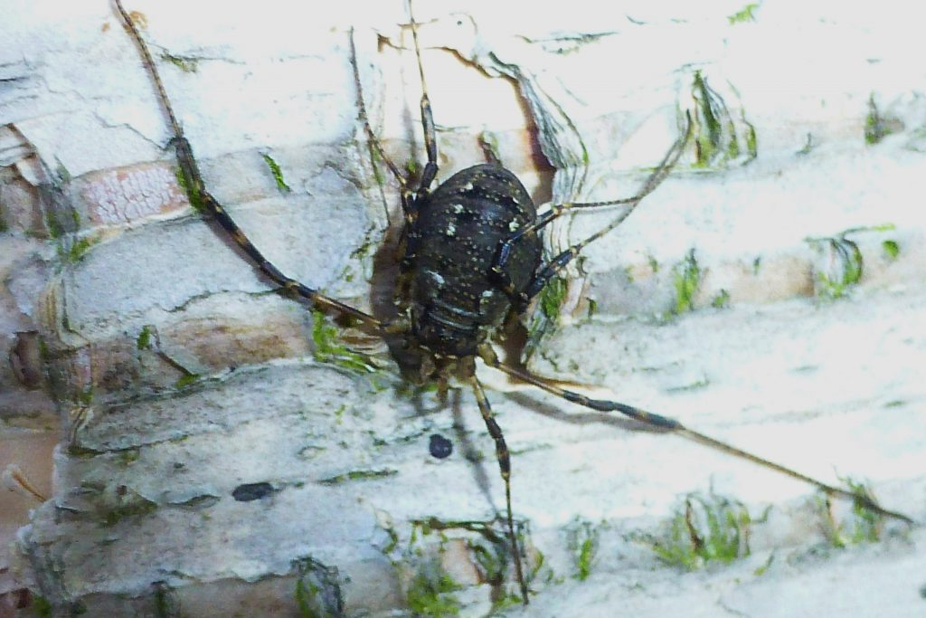 The harvestman Oligolophus hanseni on birch trunk, 18 November 2015. Photo Robert Mill.