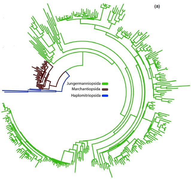 Fig 1a, Villarreal et al. 2015: molecular branch lengths across the liverwort tree of life