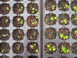 Wild celery seedlings in the poly tunnel at the Botanics in spring 2015.