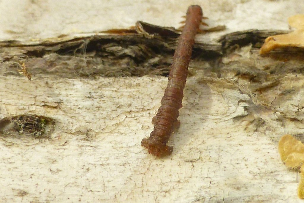 An as yet unidentified moth caterpillar looping up the bark of a birch tree, 6 November 2015. Photo Robert Mill.