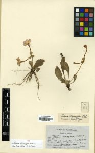 We looked at Primula sherriffae in the herbarium, collected by Ludlow and Sherriff in SE Bhutan in 1934.