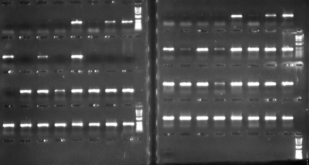 Aneura DNA amplified for psbA-trnH region: left hand side - with CES additive; right hand side - with TBT-PAR additive