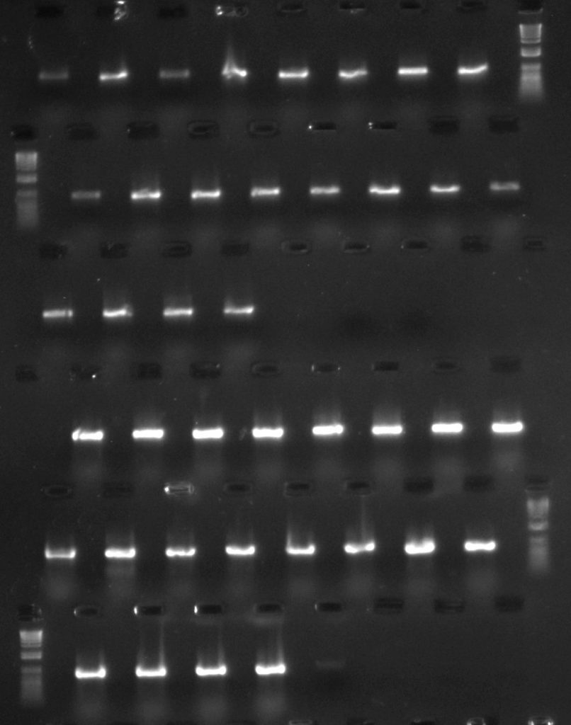Aneura DNA amplified for rpoC1 region - first two rows with TBT-PAR additive; second two rows with CES additive