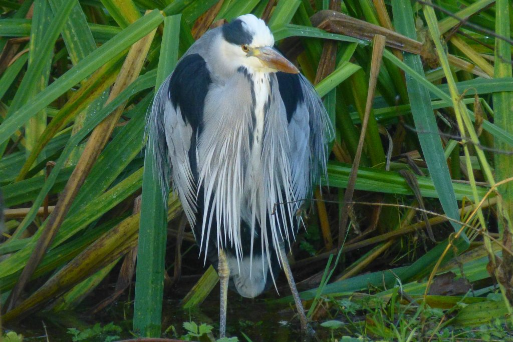 Grey Heron (Ardea cinerea), 11 December 2015. Photo Robert Mill