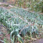 Gardener's Kitchen – Leeks
