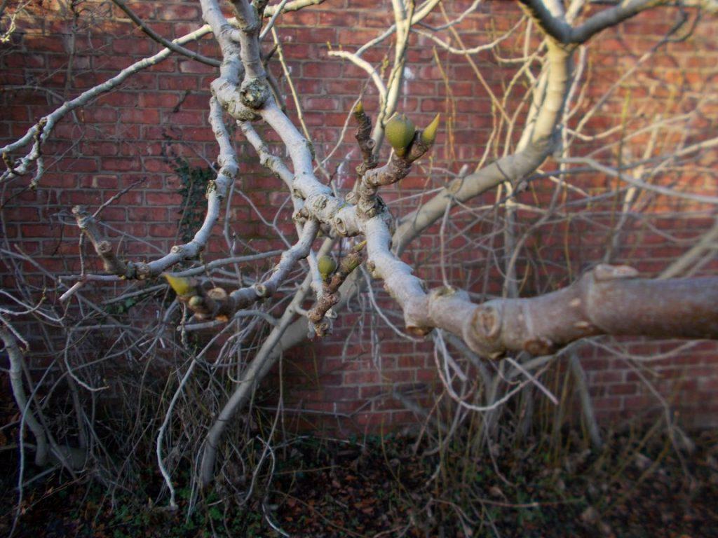 Fig Ficus carica 22 1 2016 (2a
