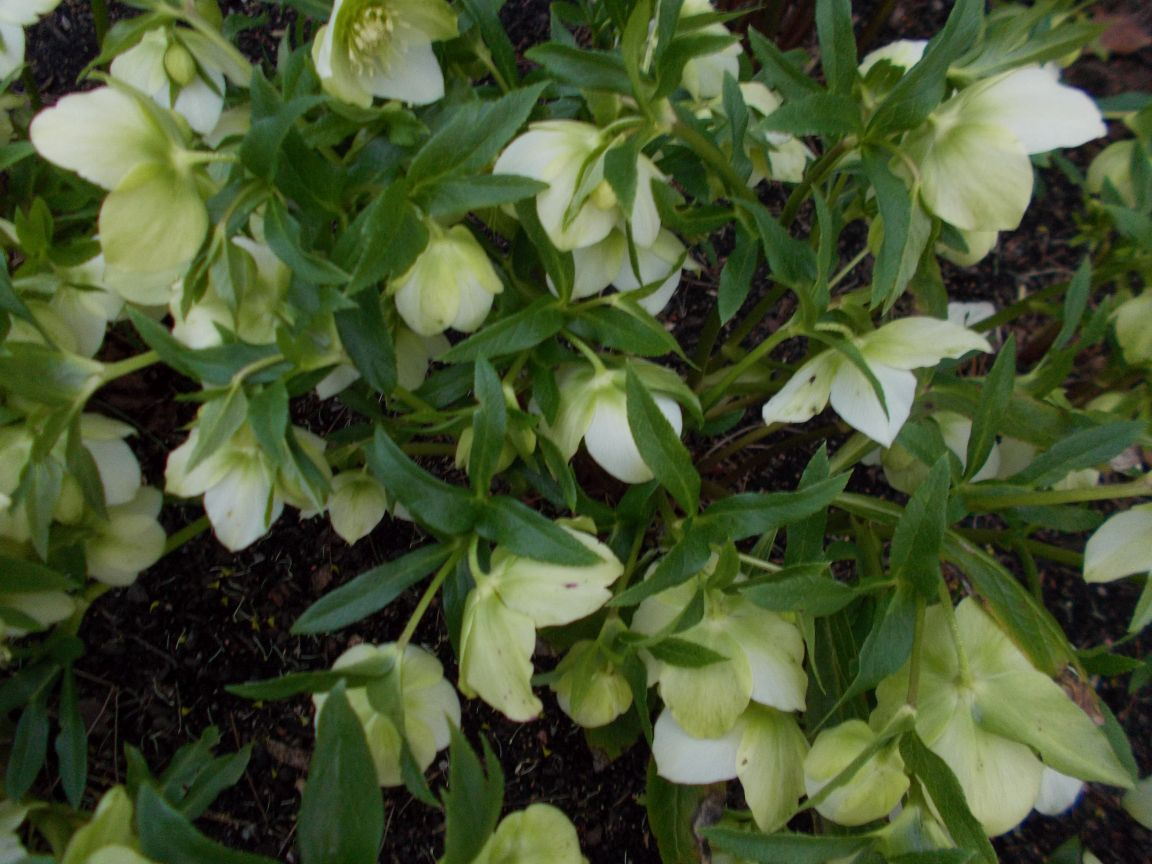 Weekly highlights botanics stories for Helleborus orientalis