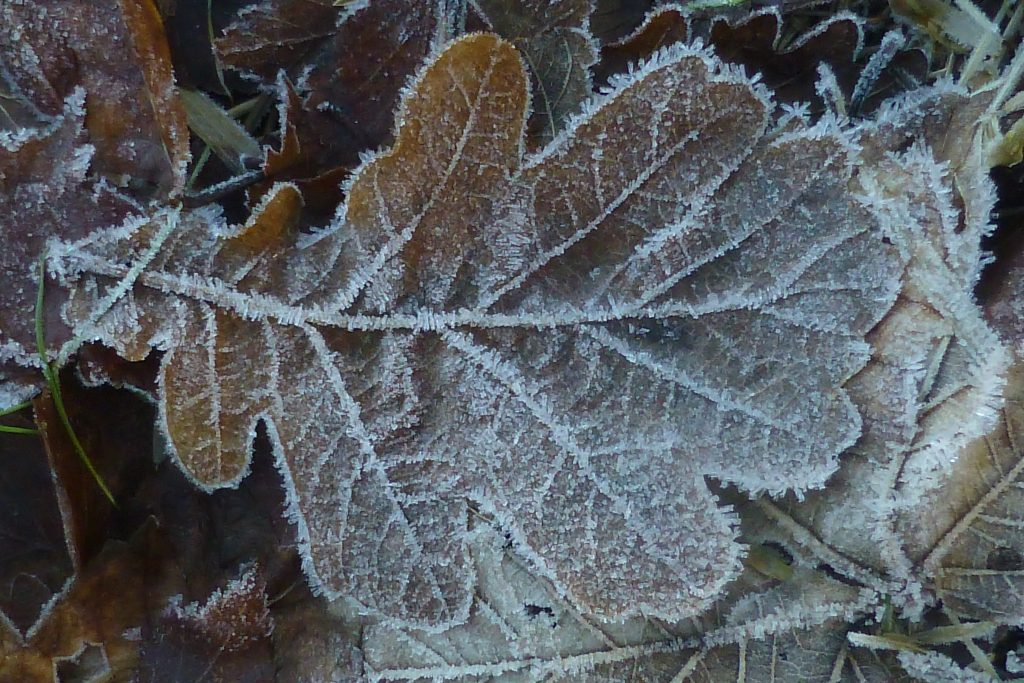 A frosted leaf in the Ecological Meadow, 15 January 2016. Photo Robert Mill.