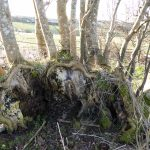 RECENT ASH DIEBACK RESEARCH OFFERS FRESH HOPE