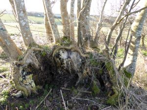 fallen ash regrows mums