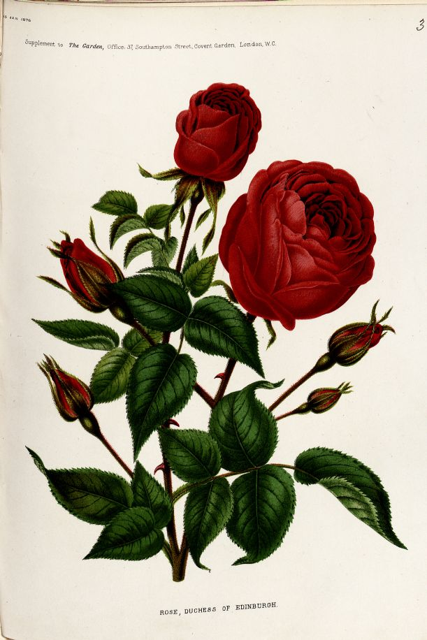 Chromolithograph of 'Rose Duchess of Edinburgh' from 'The Garden', 15 January 1876