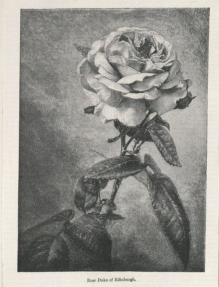 Rose 'Duke of Edinburgh' from 'The Garden' 29 September 1888