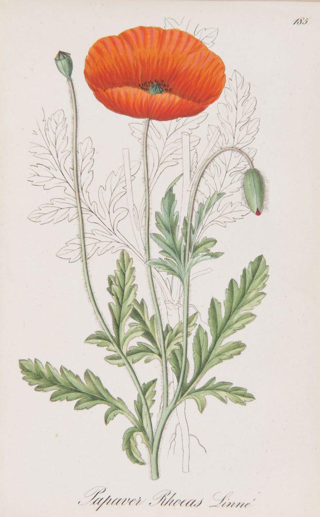Papaver rhoeas from A. Dietrich's Flora Regni Borussici. III; T.185. Berlin, 1835
