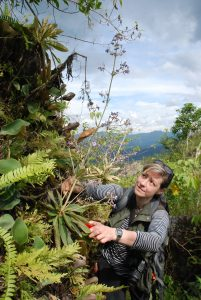 Sadie collecting a Paraboea specimen in West Sumatra