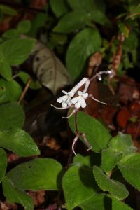 Didyssandra (Gesneriaceae) collected near Padang