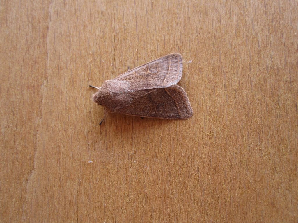Common Quaker.