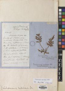 Trichomanes speciosum Killarney Fern
