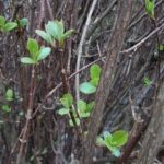 Viburnum fresh growth