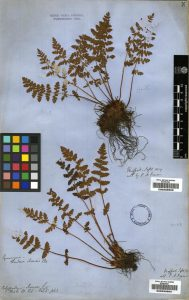 Woodsia ilvensis Oblong Woodsia
