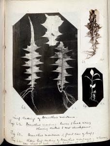 Acanthus montana