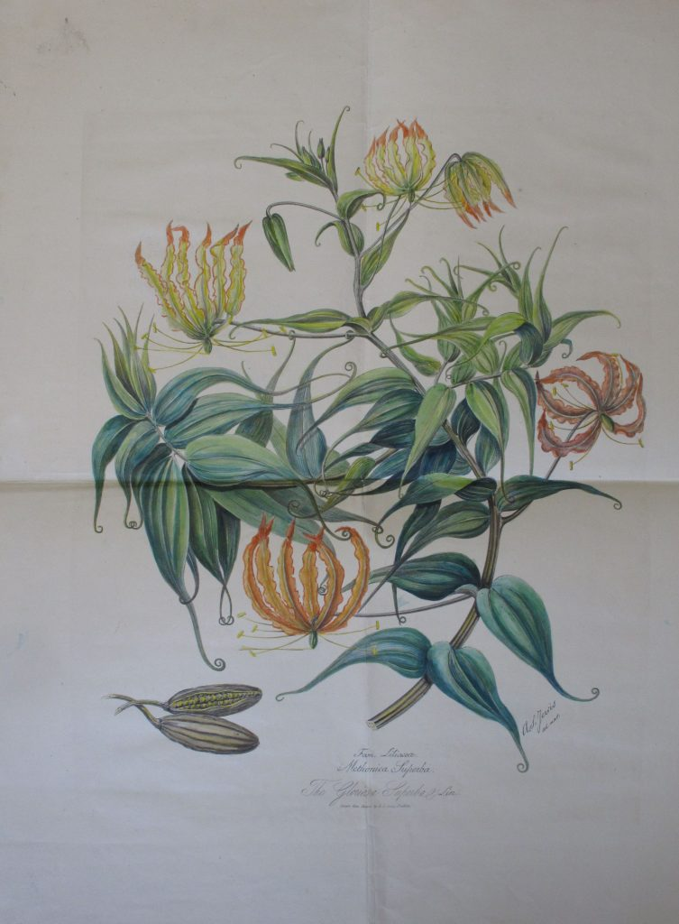 The climbing glory lily Gloriosa superba (Colchicaceae), by A.S. Jervis'