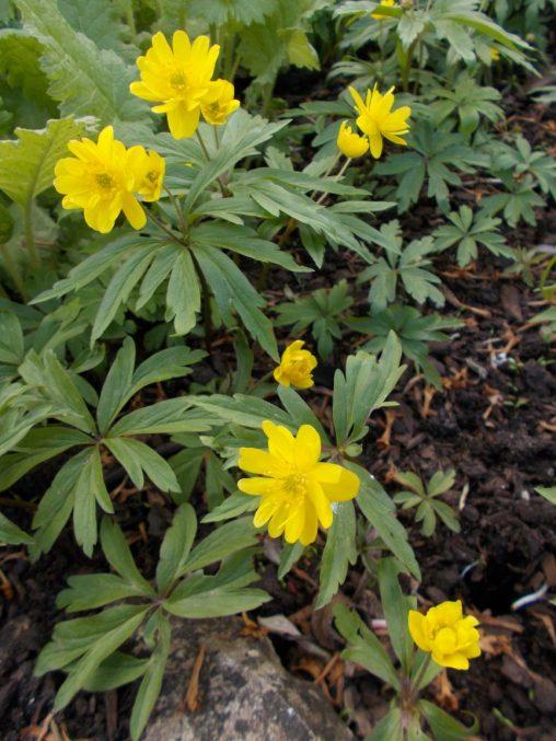 Anemone ranunculoides 'Pleniflora'