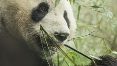 Using DNA to investigate Giant panda diet