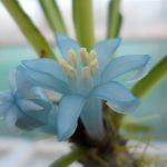Flower of Myrmephytum arfakianum.