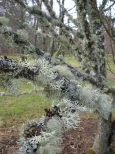 'Bushy' lichens are very sensitive to air pollution and are therefore a sign of good air quality