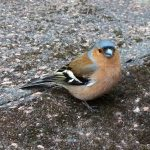 Chaffinch Male for Botanics Stories