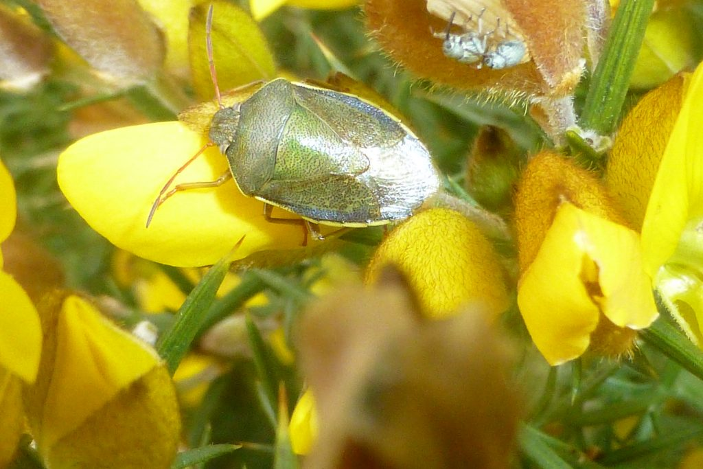 Gorse Shield Bug Piezodorus lituratus with two Gorse Weevils Exapion ulicis at top right of photograph, on gorse, RBGE, 14 April 2016. Photo Robert Mill.