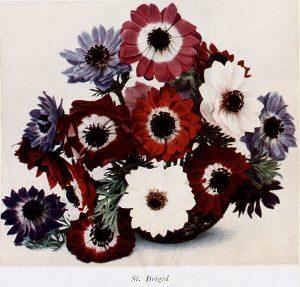 St Brigid anemone