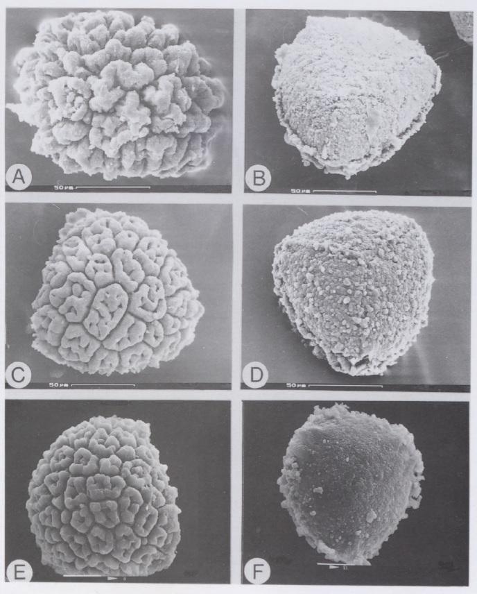 Exormotheca spores: E. bulbigena - A, distal view, B, proximal view. E. holstii - C, distal view, D, proximal view, E, distal view, F, proximal view. From Bornefeld et al., 1996.