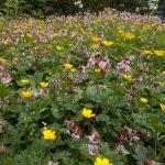 Geranium macrorrhizum 'Album' and Ranunculus bulbosus (Bulbous buttercup)