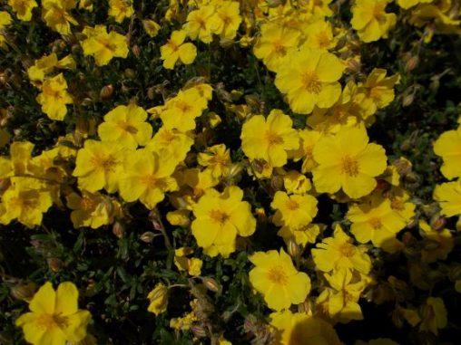 Heliamthemum nummularium ssp. tomentosum