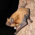 Bat recordings yield new Garden bat records