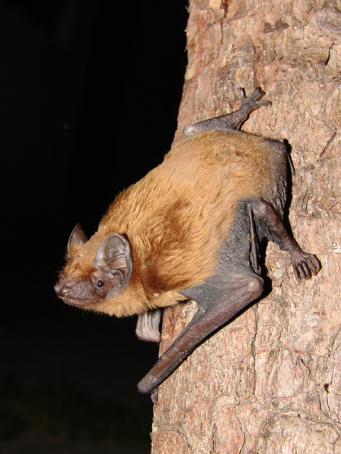 Noctule Bat, Nyctalus noctula. By Mnolf [GFDL (http://www.gnu.org/copyleft/fdl.html), CC-BY-SA-3.0 (http://creativecommons.org/licenses/by-sa/3.0/) or CC BY-SA 2.0 (http://creativecommons.org/licenses/by-sa/2.0)], via Wikimedia Commons