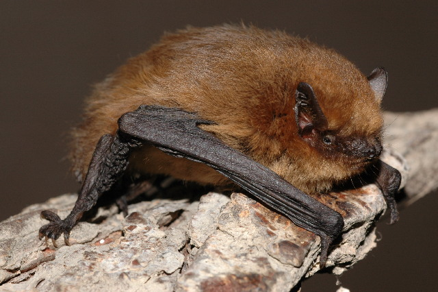 Soprano Pipistrelle (Pipistrellus pygmaeus). By Evgeniy Yakhontov - Page - Image, CC BY-SA 3.0, https://commons.wikimedia.org/w/index.php?curid=14637689