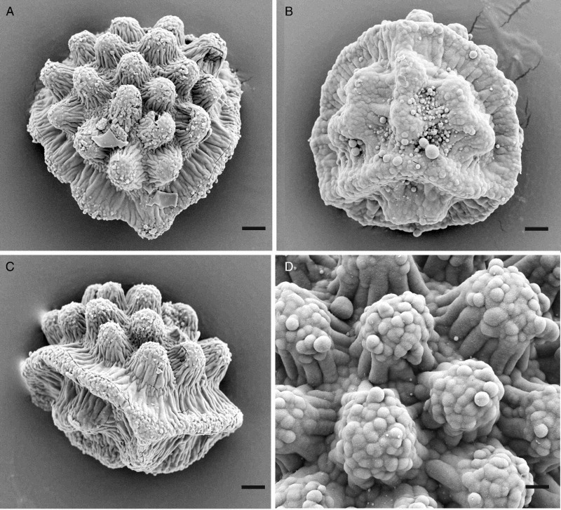 Spores of Aitchisoniella himalayensis. (A) Distal view; (B) proximal view; (C) lateral view; (D) detail of distal view. (A and C) from Long 39886. (B and D) from Long 40020. Scale bars: (A–C) = 5 μm, (D) = 2 μm.